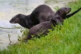 River otters gathering on the bank