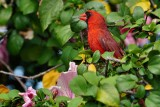 Male cardinal in a hibiscus