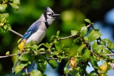 Blue jay in a hibiscus