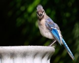 Juvenile blue jay in my yard