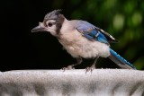 Juvenile blue jay looking around