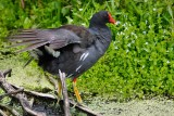 Moorhen stretching