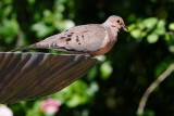 Mourning dove on the bird bath