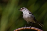 Mockingbird patrolling the yard