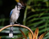 Blue jay on the lamppost
