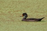 Male wood duck losing the mating feathers