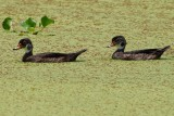 Wood duck pair cruising through the duckweed