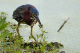 Green heron with a catch