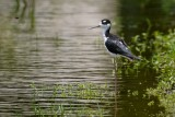 Black-necked stilt standing in the shallows