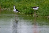 Black-necked stilts still around