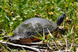 Turtle up in the grasses