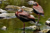Black-bellied whistling ducks trying to nap