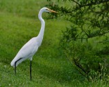 Great egret on the bank