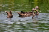 Mottled ducks feeding on the bottom