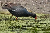 Moorhen feeding in the duckweed