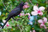 Grackle in the hibiscus