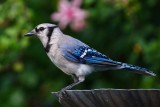 Blue jay on the bird bath
