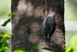 Red-bellied woodpecker with a lizard in a hole