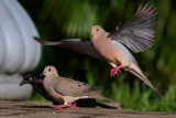 Mourning dove interested in mating