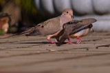 Mourning dove foreplay