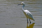 Snowy egret in the shallows