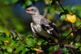 Young mockingbird in my hibiscus