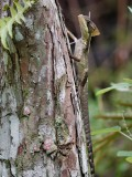 Basilisk lizard on a cypress stump