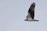 Osprey flying past