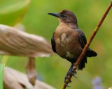 Female grackle on a reed