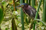 Green heron in the reeds