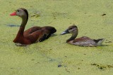 Black-bellied whistling duck and duckling