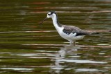 Black-necked stilt in the water