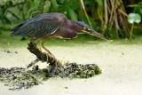 Green heron with a small fish