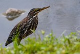 Green heron on the edge of the levee
