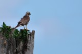 Red-shouldered hawk on a distant lookout