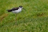 Black-necked stilt on the levee