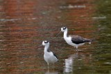 Young black-necked stilts in the water