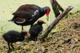 Moorhen feeding her chicks