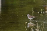 Killdeer in the water