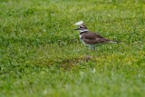 Killdeer on the bank