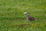 Killdeer calling out