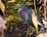 Green heron hiding in the reeds