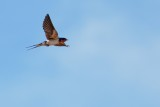 Barn swallow over the pool
