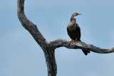 Anhinga in a tree