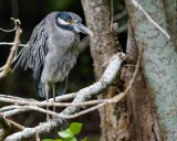 Yellow-crowned night heron in a tree