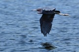 Little blue heron flying over water