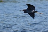 Little blue heron banking away