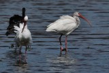 Ibises in the shallows