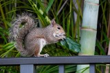 Squirrel eating a hibiscus leaf