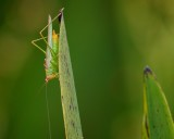 Grasshopper on a reed